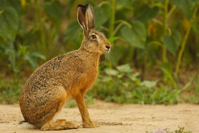 Заяц животное природа