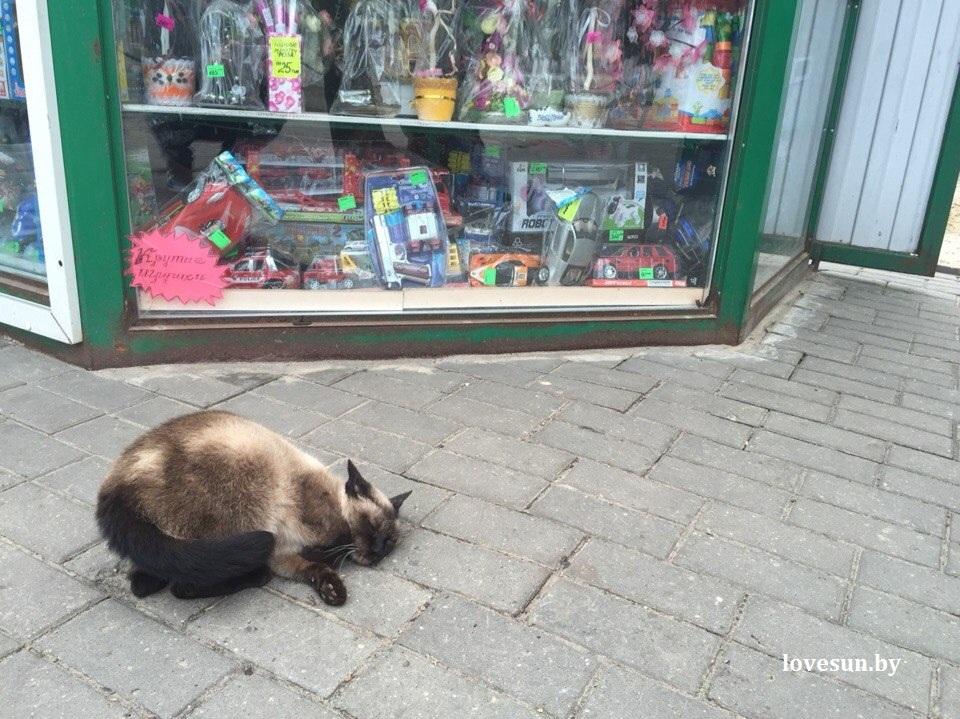 8 марта 2015 тайский (сиамский) кот 1