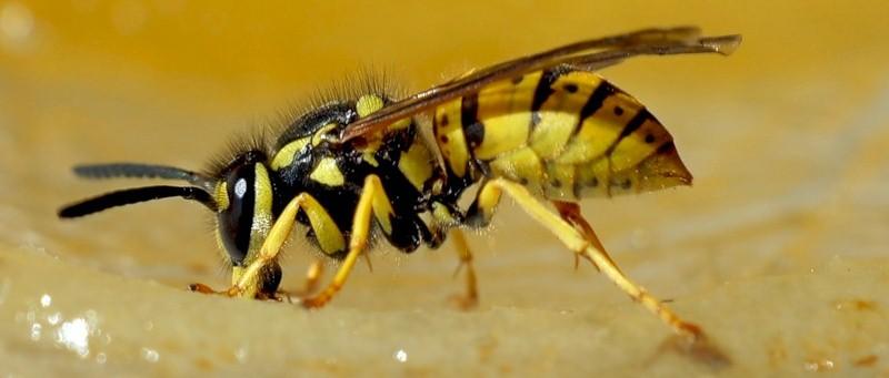 оса, насекомое