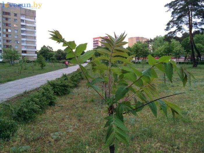 сквер победы молоде дерево