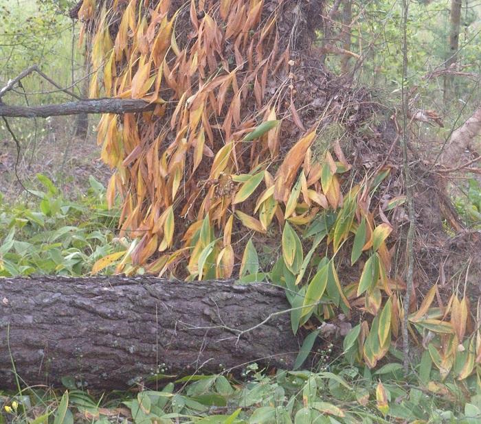 упавшее дерево лес