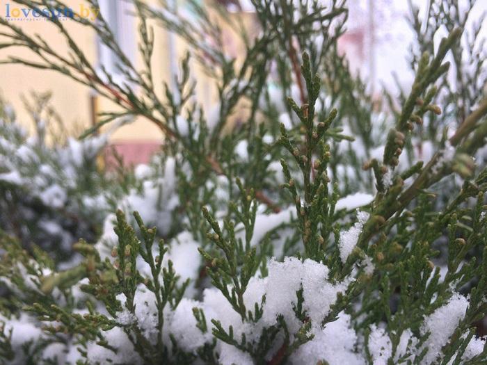 первый снег 2016/2017 хвоя елка ель