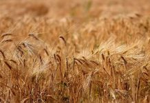 Рожь зерно поле хлеб