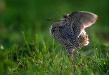 птица дупель