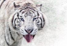 злой белый тигр животное