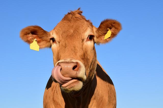 корова бык животное ферма молоко